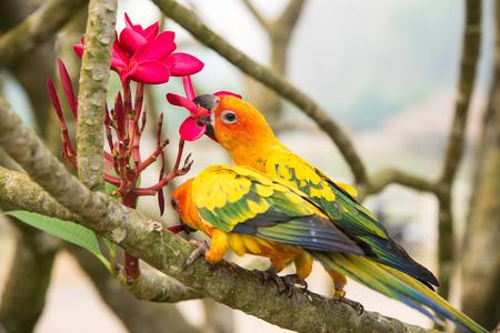 lovebirds: Two lovebirds eating plumeria on tree.Head focus.