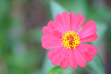 Pink zinnia tree , Pink zinnia closeup.Focus top carpel. Stock Photo