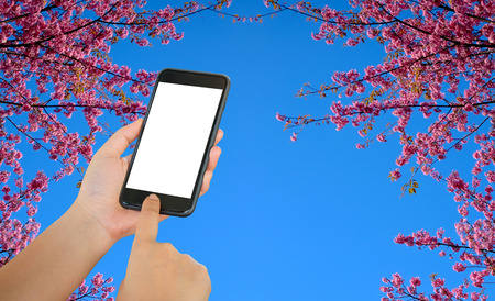 conection: Smart phone on sakura or flower queen tiger with blue sky background. Stock Photo