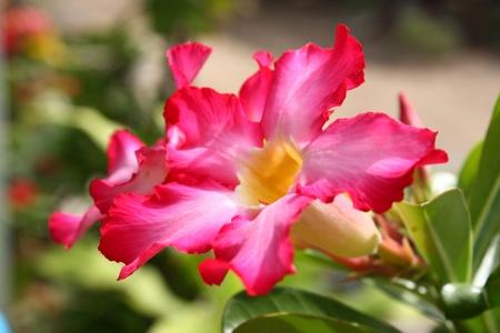 adenium: Adenium flowers Stock Photo