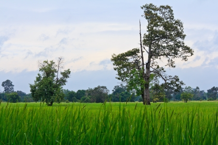 Tree and green rice fields