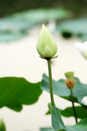 Lotus in ponds photo