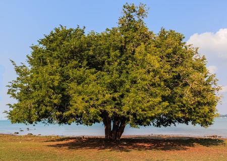 Grote tamarinde boom in de buurt van de zee Stockfoto