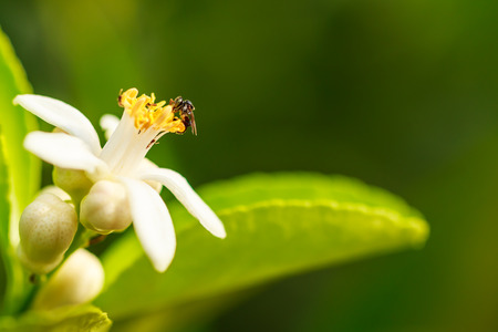 Bee on lemon flower, My little lemon tree has new flowers, the scent of this flowers are so delicate and sweet as this bee can photo