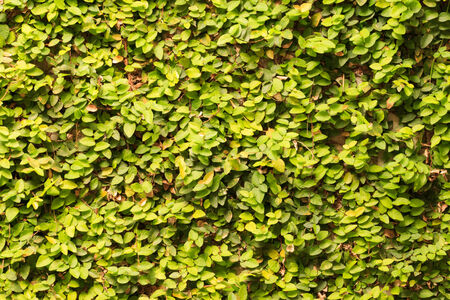 ivy wall: ivy on wall background