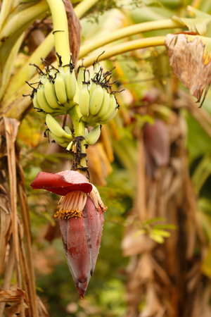 banana and banana flower photo