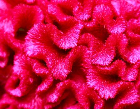 close up pink cockscomb flower photo