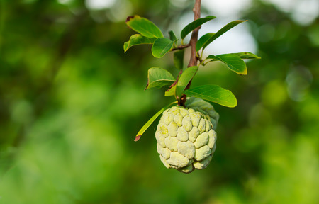 annona squamosa: Custard apples or Sugar apples or Annona squamosa Linn. growing on a tree in garden, Thailand