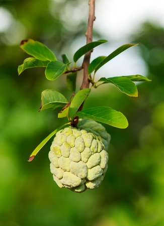 squamosa: Custard apples or Sugar apples or Annona squamosa Linn. growing on a tree in garden, Thailand