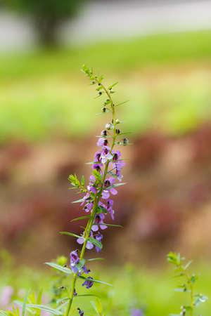 small purple flower: small Purple flower in garden Stock Photo