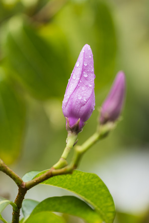 Budding purple flower with Raindrops photo