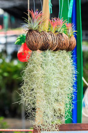 Rows of Tillandsia and spanish moss remix for decoration photo