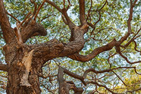samanea saman: pattern of branch Big Samanea saman tree