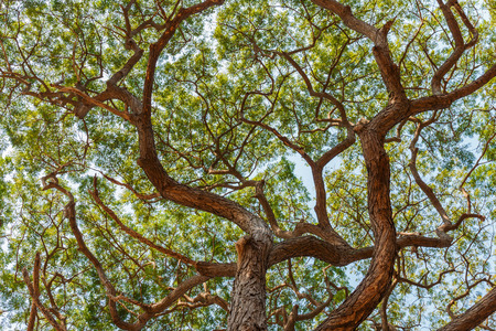largest tree: patten of branch Big Samanea saman tree Stock Photo