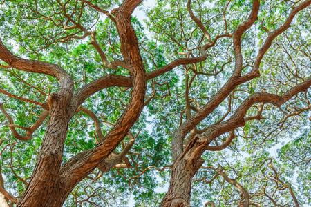 samanea saman: patten of branch Big Samanea saman tree Stock Photo