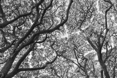 samanea saman: patten of branch Big Samanea saman tree in black and white tone