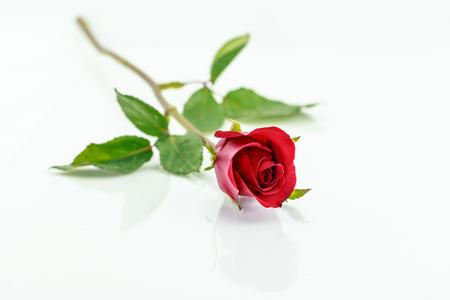 horizontally: red rose isolated with shadow horizontally