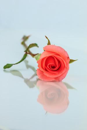 horizontally: Pink rose isolated with shadow horizontally Stock Photo