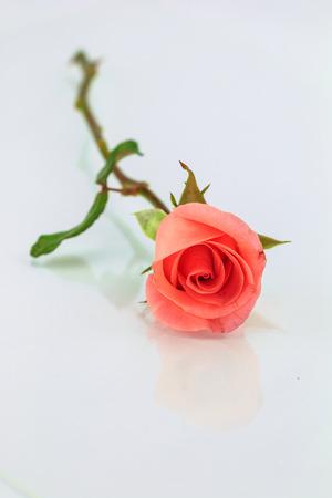 horizontally: Pink rose with shadow horizontally