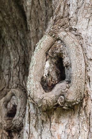 scarring: corteccia di albero. Archivio Fotografico