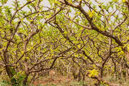annona: Tree of custard apple or Annona Stock Photo