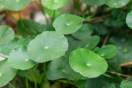 marsilea: Water clover
