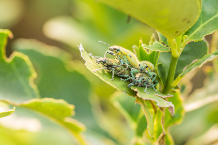 the greenish: Four Hypomeces squamosus (Green weevil), Greenish yellow insect on lemon tree Stock Photo