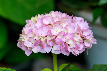 hitched: Delicate petals of Hydrangea flowers
