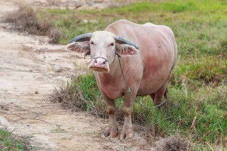 albino: Thai albino buffalo in meadow Stock Photo