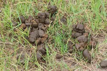 excrement: Cavallo escrementi su erba verde