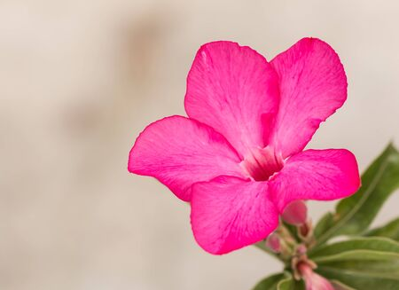 mock azalea: Impala Lily, Desert Rose, Mock Azalea, Pinkbignonia, Adenium flower Stock Photo