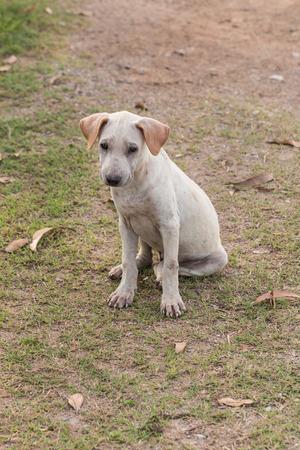 stray: Thai Stray Puppy Dog Stock Photo
