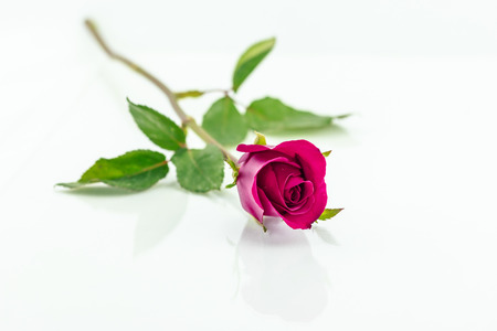 horizontally: pink rose isolated with shadow horizontally