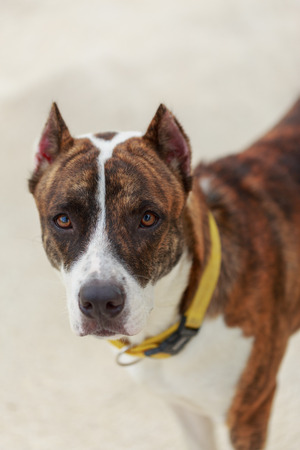 pit bull: portrait of pit bull dog