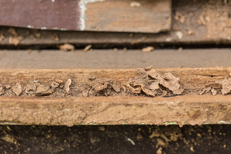 taxonomic: Close up damaged wood eaten by termite