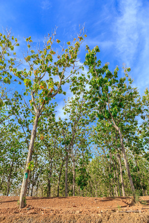 teak: Teak forests in Thailand