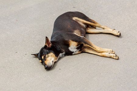 cement floor: Sleeping Black Thai dog on Cement floor