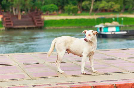 cement floor: Standing white Thai dog on Cement floor
