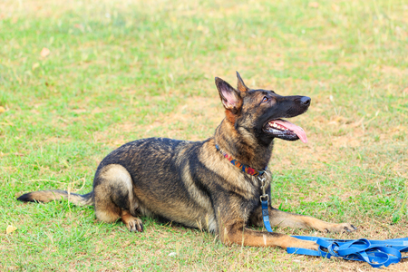 german shepherd on the grass: a large German Shepherd Dog that is laying down against a green grass backdrop and looking up