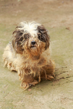 havanese: Cute havanese puppy looks dirty but happy, lay down on ground