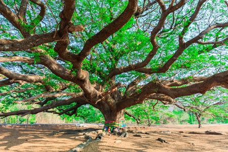 large tree: Giant tree,Rain tree,Samanea saman (Leguminosae),Minosoideae, Kanchanaburi, Thailand
