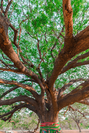 leguminosae: Giant tree,Rain tree,Samanea saman (Leguminosae),Minosoideae, Kanchanaburi, Thailand
