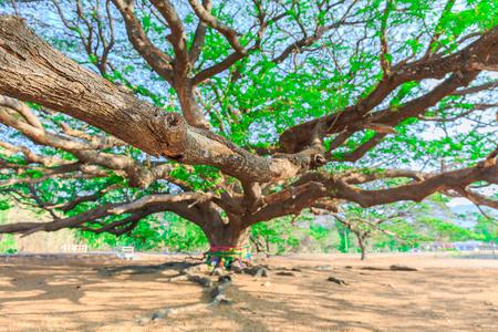 leguminosae: selective focus on branch of Giant tree,Rain tree,Samanea saman (Leguminosae),Minosoideae, Kanchanaburi, Thailand