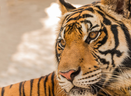 tigresa: Close up tigre en el zool�gico Foto de archivo