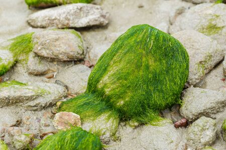 green algae: Green algae on rocks by the beach Stock Photo