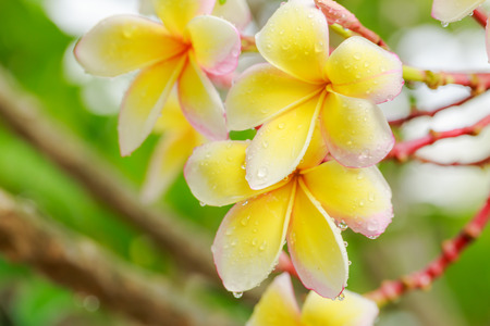 natural love: Colorful Plumeria flowers with drops of water