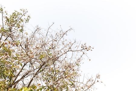 rosewood: Burma Padauk, Narra, Angsana Norra, Malay Padauk, Burmese Rosewood, Andaman Redwood, Amboyna Wood, Indian rosewood, seeds on blue sky