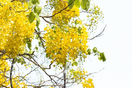 golden shower: Golden shower bloom in sunshine day at thailand Stock Photo
