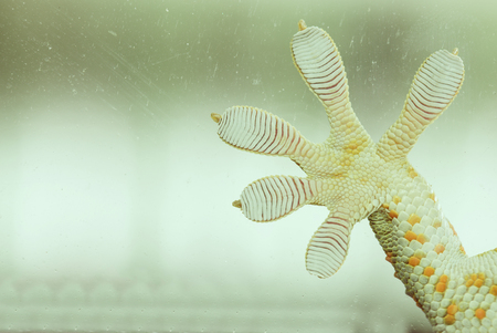 tokay gecko: Fingers of Gecko on glass - vacuum feed macro - WALL STICKER