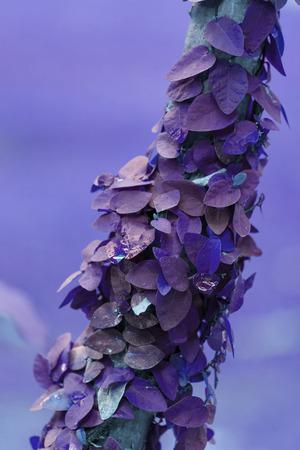 close up ivy on tree , purple tone Stock Photo